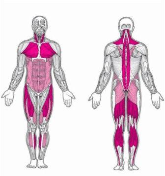 muscles-posturaux